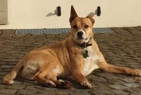 Disappearance alert Dog miscegenation Male , 9 years Saint-Wendel Germany